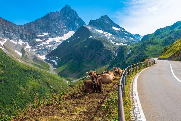 Swiss alpine milk cows