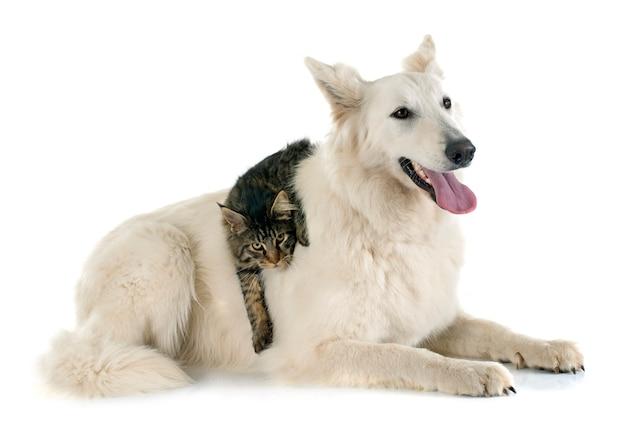 Швейцарская овчарка и кот