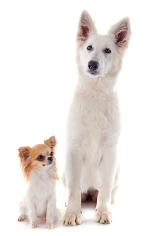 Swiss shepherd  and chihuahua