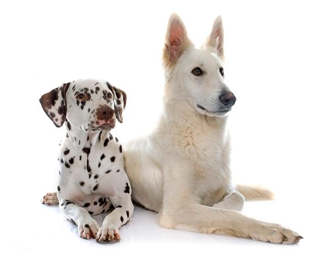 Swiss shepherd and dalmatian