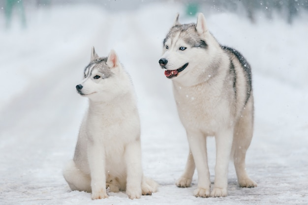 Syberian husky couple in winter