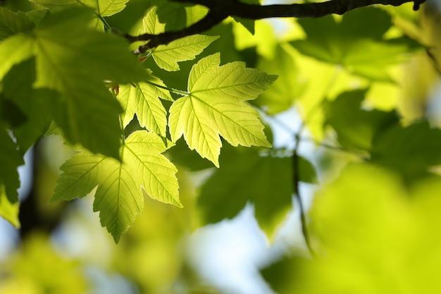 シカモアカエデの葉が森に