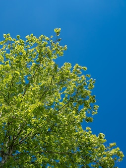 푸른 하늘, 자연에 대 한 플라타너스 나무 잎