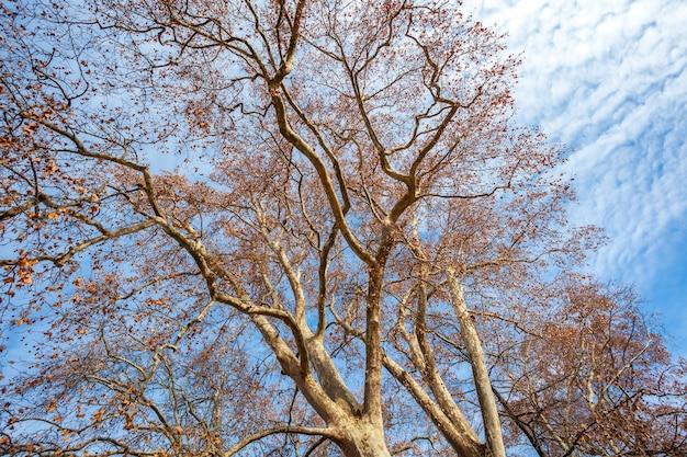 シカモアの木は青い空を背景に冬に去ります