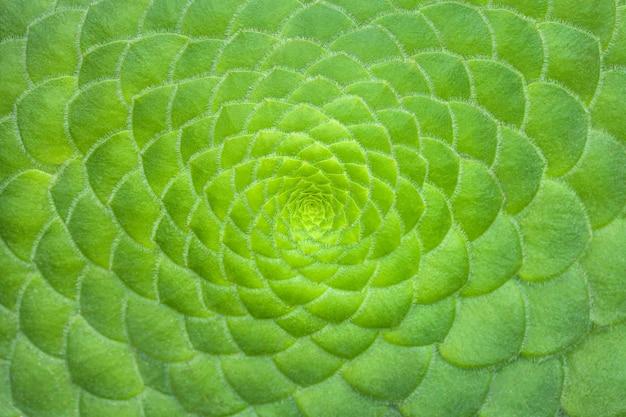 Symmetric green background of cactus succulent plants, close-up.