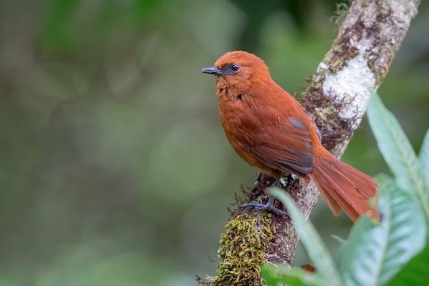 Synallaxis unirufa / rufous spinetail, невероятная и красивая оранжевая птица, сидящая на дереве