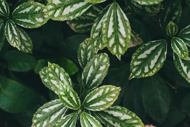 シンゴニウム、白い葉のある緑の葉。