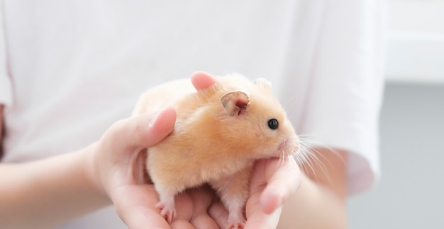 Syrian fluffy hamster. the rodent is held in the hand. photo on a white background.