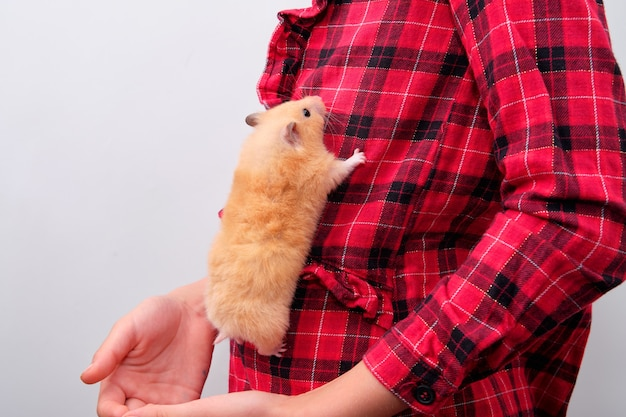 Syrian hamster crawling up the child's shirt