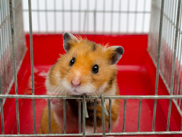 Syrian hamster looking out of a cage