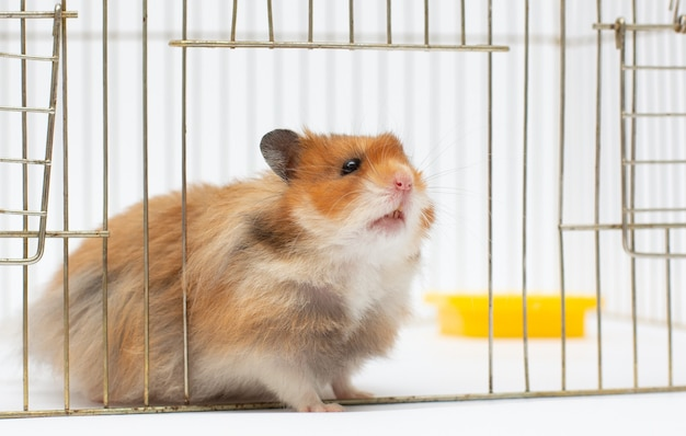 A syrian hamster looks out of its cage. close-up, natural light
