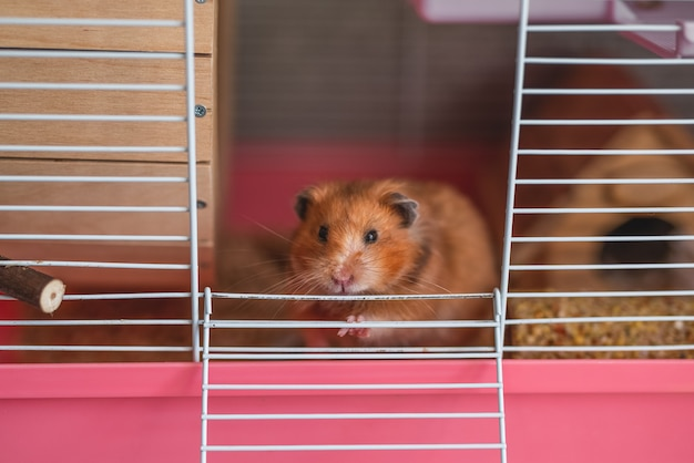 A syrian hamster looks out of its cage