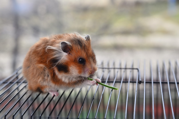 Syrian hamster nibbles a green stem