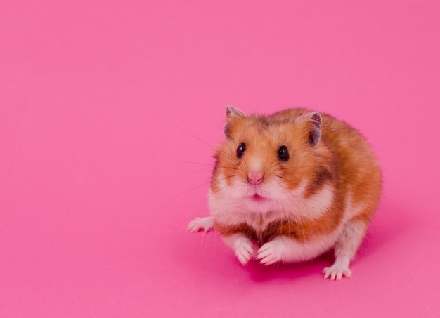 Syrian hamster on a pink background