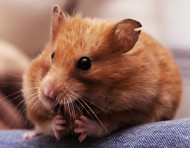 Syrian hamster sits on the knees and nibble nut