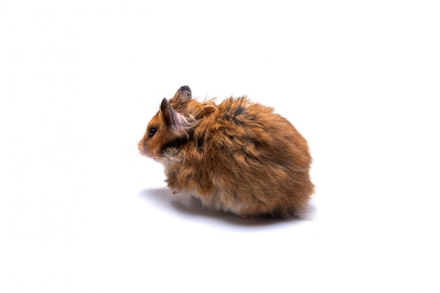 Syrian hamster on a white