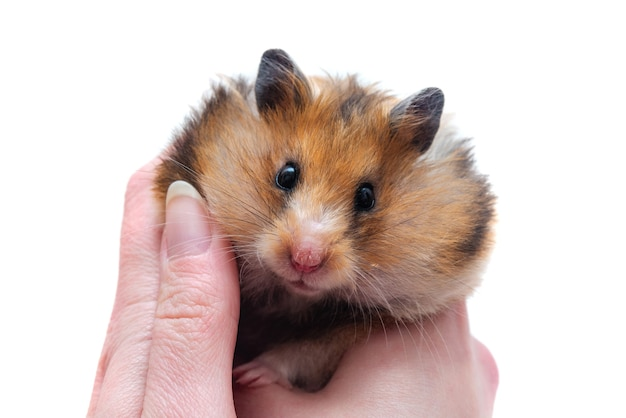 Syrian hamster with full cheeks of food in female hands on a white background close-up, different emotions