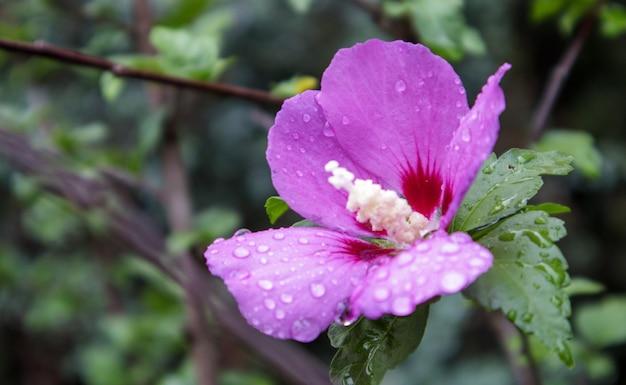 シリアのケトミアの花、ムクゲ。ムクゲの観賞用顕花植物、庭の紫紫色の花、雨滴またはケーキや葉の朝のロス。花の背景。
