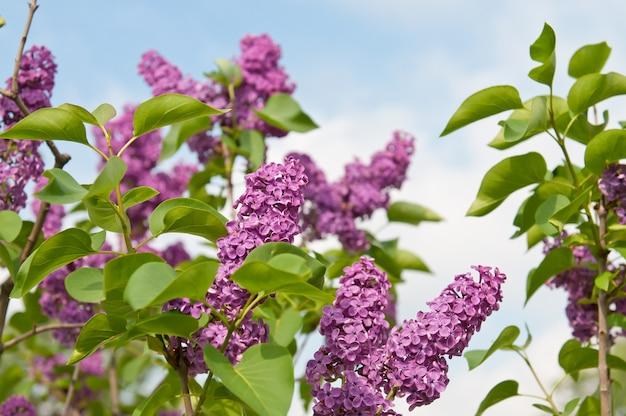 Цветы сиринги и красивое голубое небо