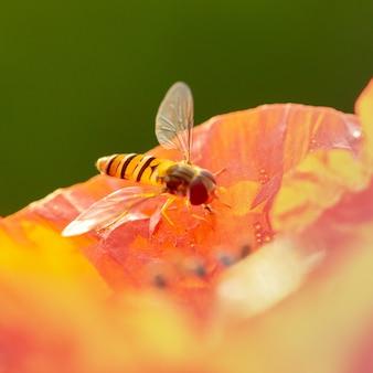 Syrphidae сидит на красном цветке мака