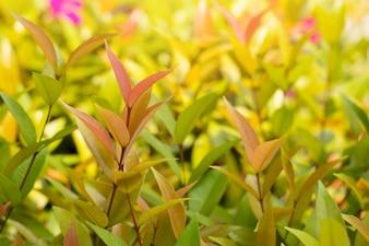Syzygium austral Red leaf for natural background,