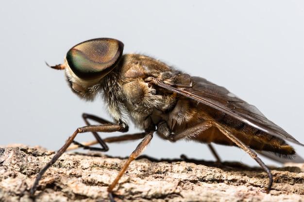 マクロ昆虫tabanus sulcifrons