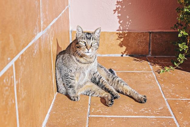 Tabby adult lazy cute cat basks in morning sun on balcony