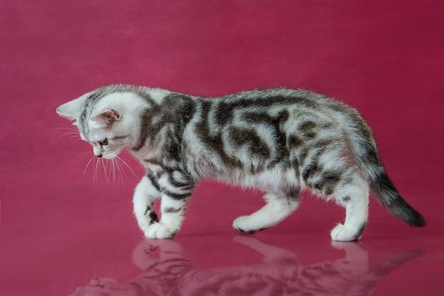 Полосатый британский короткошерстный котенок на красном фоне