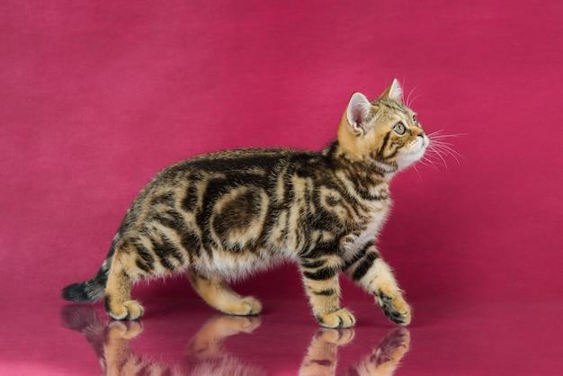 Полосатый британский короткошерстный котенок