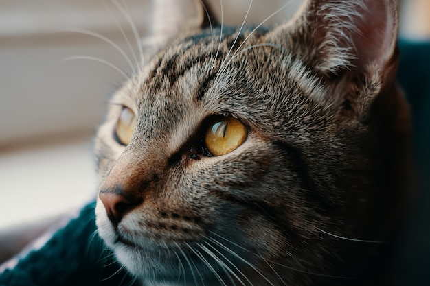黄色い目を持つぶち猫のクローズアップ子猫は、日光がペットに落ちる距離を見る