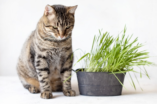 Tabby cat eats fresh green grass. cat grass. useful food for animals