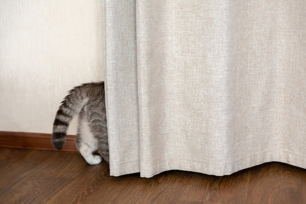 Tabby cat hides behind curtain tail and hind paws stick out from behind curtain