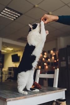 ぶち猫が立って、人間が食べている食べ物を舐めています。