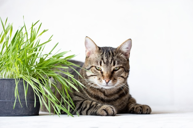 Tabby cat lies near the fresh green grass. cat grass. useful food for animals