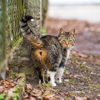 ぶち猫は古い道を歩いて振り返ります。キャットバック。
