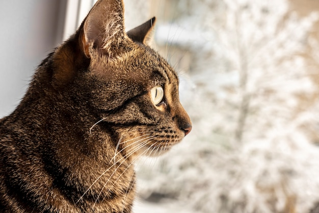Tabby cat sits and looks out the window with winter view. bengal cat. space for text. warmth and home comfort. the problem of homeless animals. animal protection day. veterinary medicine. castration