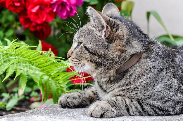 Полосатый кот сидит в саду с красными розами