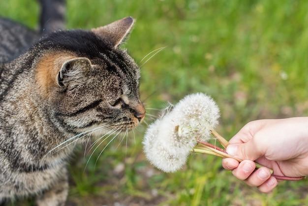 屋外の自然にタンポポをくんくんかぐトラ猫