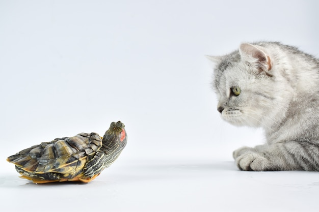 A tabby cat sniffs at a turtle on a white surface