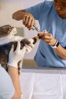 얼룩 고양이는 병원에서 수의사와 함께 발톱 절단 절차를받습니다.