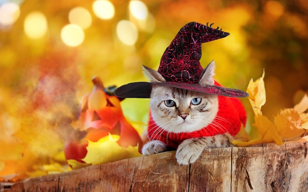 Tabby cat wearing witch hat sitting next to halloween pumpkin