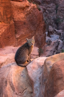 Tabby cat with green eyes on the background of red rocks of the canyon in petra jordan