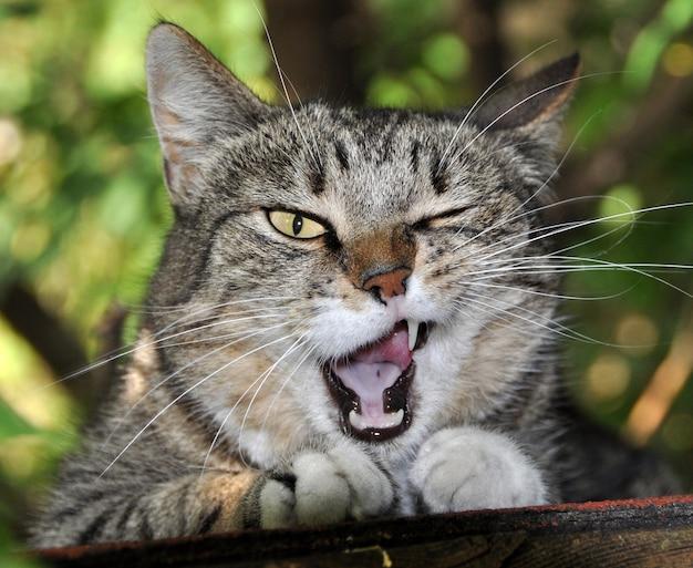 Полосатый кот зевает. кошка в естественной среде, хорошо зевая.