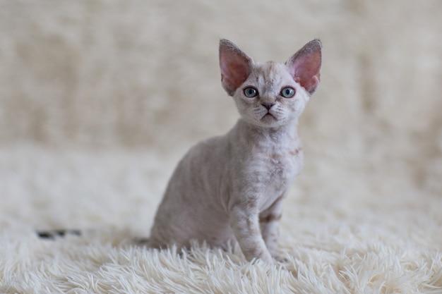 ベッドの上に座っているタビーデボンレックス子猫