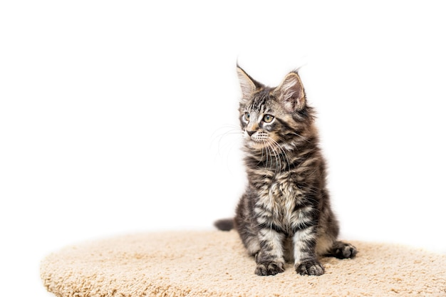 Tabby gray maine coon kitten lying on a scratching post isolated