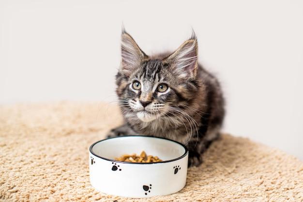 얼룩 무늬 회색 메인 쿤 새끼 고양이는 음식 그릇 앞에 앉아 주인을 쳐다 본다.