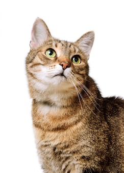 Tabby home adult cat looks up isolated.