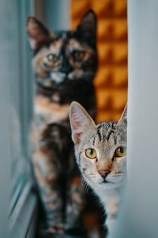 창가의 커튼 애완 동물 뒤에서 엿보는 얼룩 무늬 고양이 두 마리의 국내 고양이