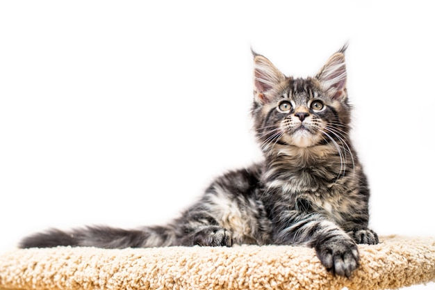 Tabby maine coon kitten lying on a scratching post isolated