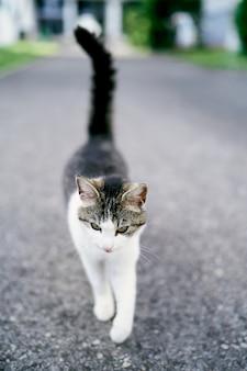 Полосатый белый кот ходит по асфальту крупным планом